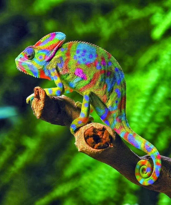 Jackson Chameleon Tattoos: Why Do Chameleons Change Their Color? « 24 Hours Of Culture