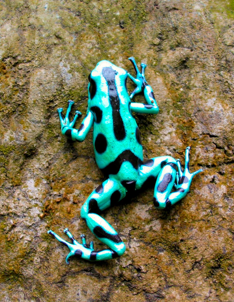 Poison Dart Frog Facts Amp 171 24 Hours Of Culture